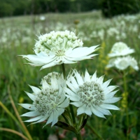 Astrància -Astrantia major-